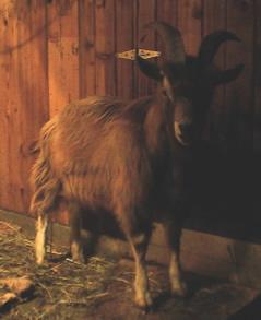 http://wildthingorganics.com/goatdad.jpg